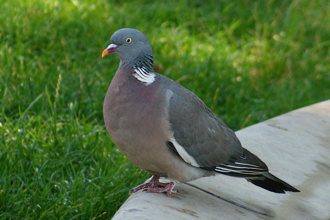 На Кубани произошла массовая гибель лесных голубей